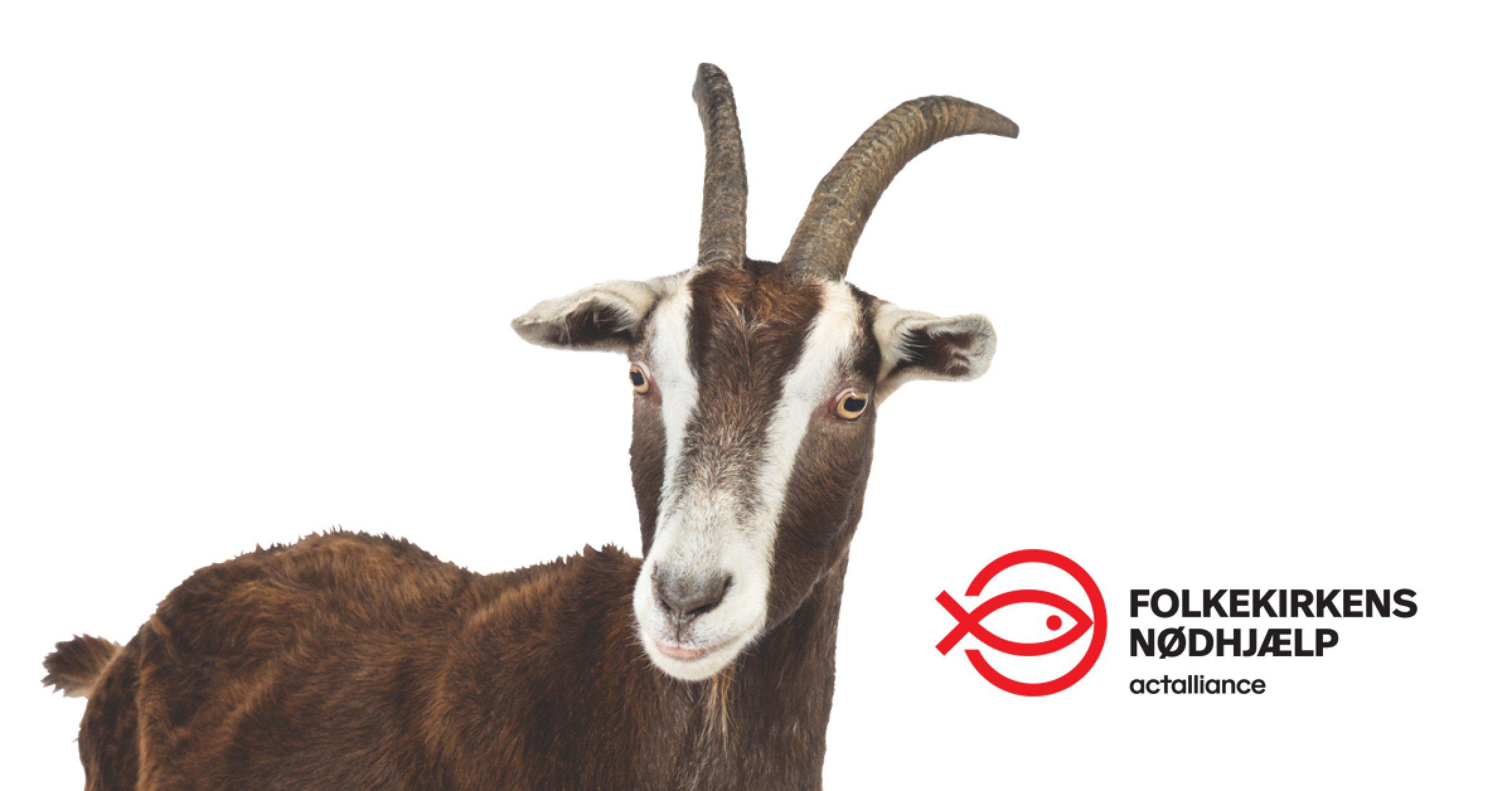 dd2c8b327ce Dansk firma giver geder fra Folkekirkens Nødhjælp i julegave   CSR.dk